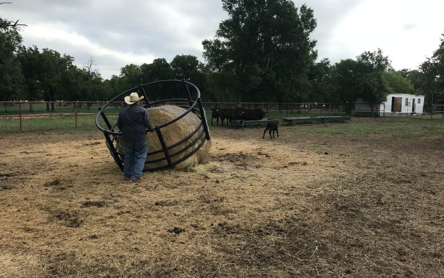 Rancher, Hay and Wagyu Cows